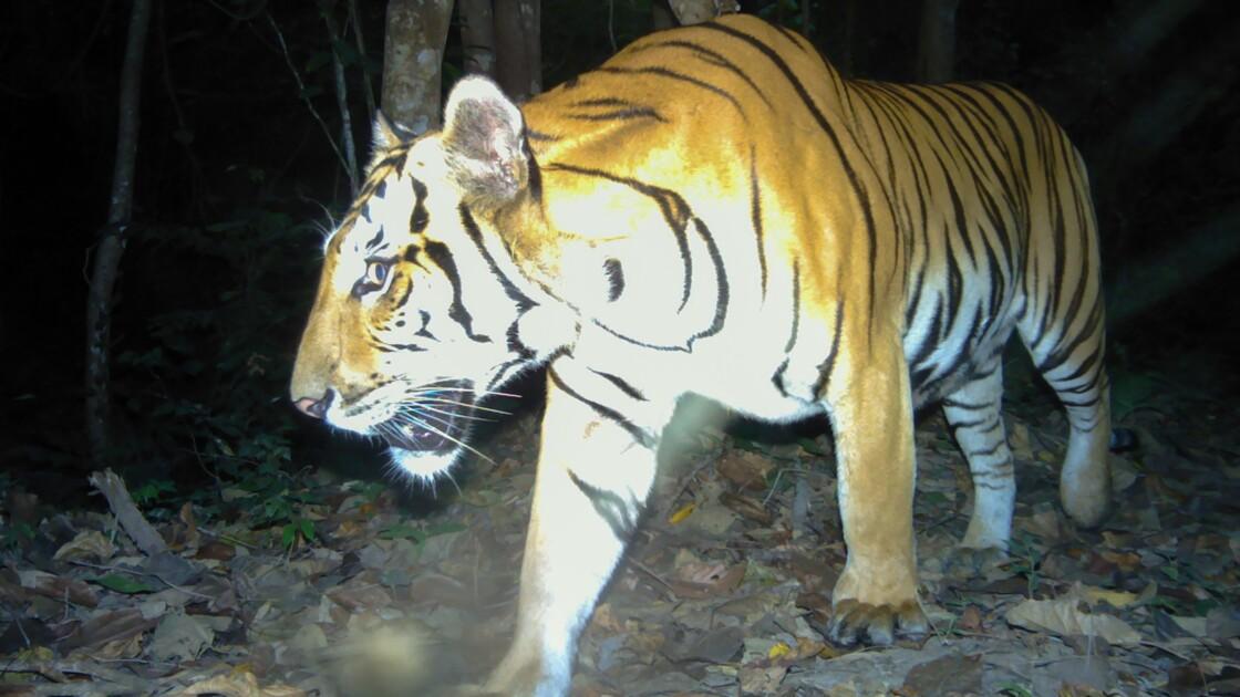 Thaïlande: le nombre de tigres remonte très lentement mais le félin reste menacé