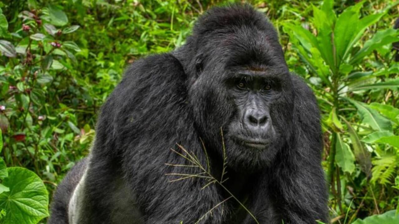 Le tueur du gorille Rafiki écope d'une lourde peine de prison