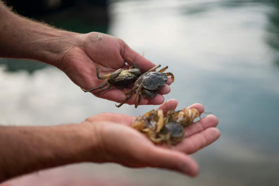 Des crabes mous, mais chers