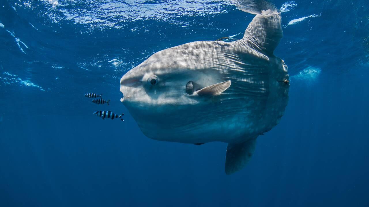 Des scientifiques identifient la larve de l'un des plus gros poissons au monde