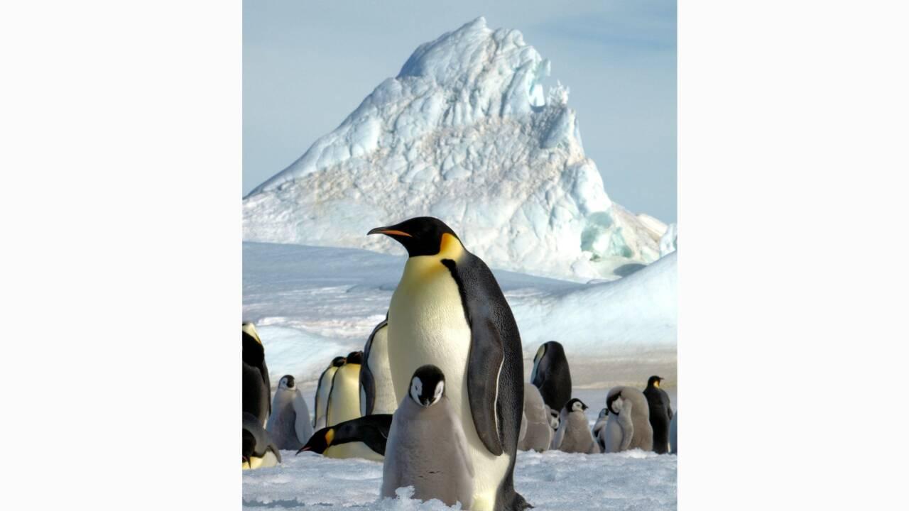 De nouvelles colonies de manchots empereurs repérées depuis l'espace en Antarctique