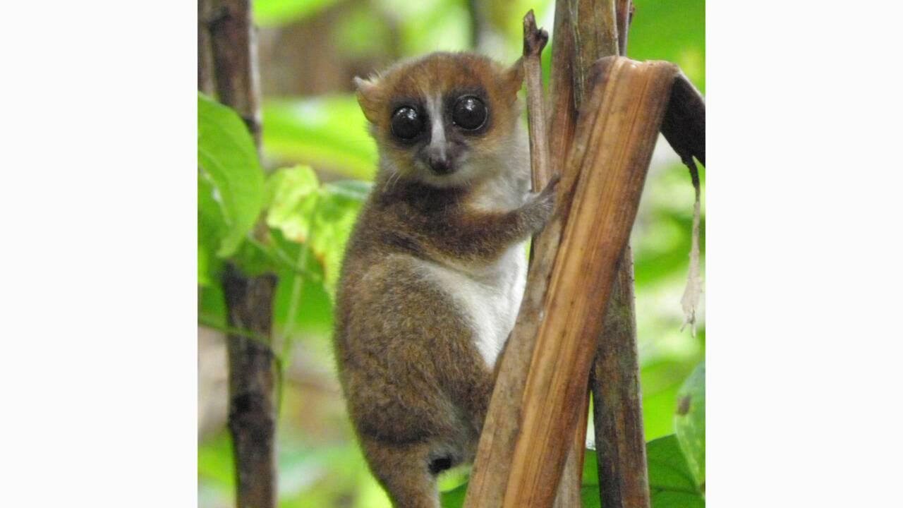 Une nouvelle espèce de petit lémurien identifiée à Madagascar