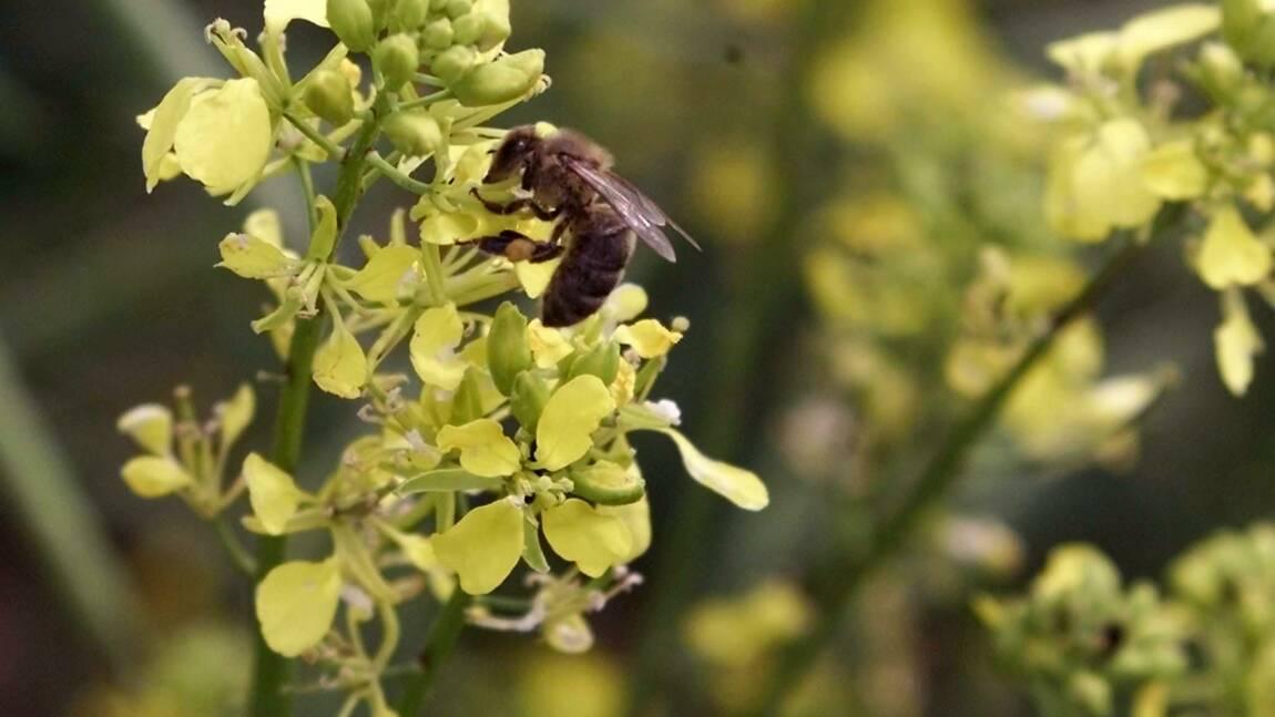 Betterave: le gouvernement veut ré-autoriser un insecticide interdit