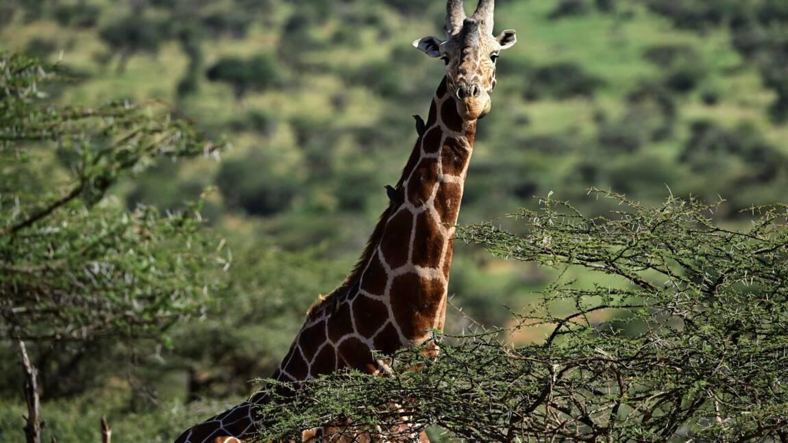 Niger: une girafe de 25 ans meurt dans des inondations, une trentaine sauvées