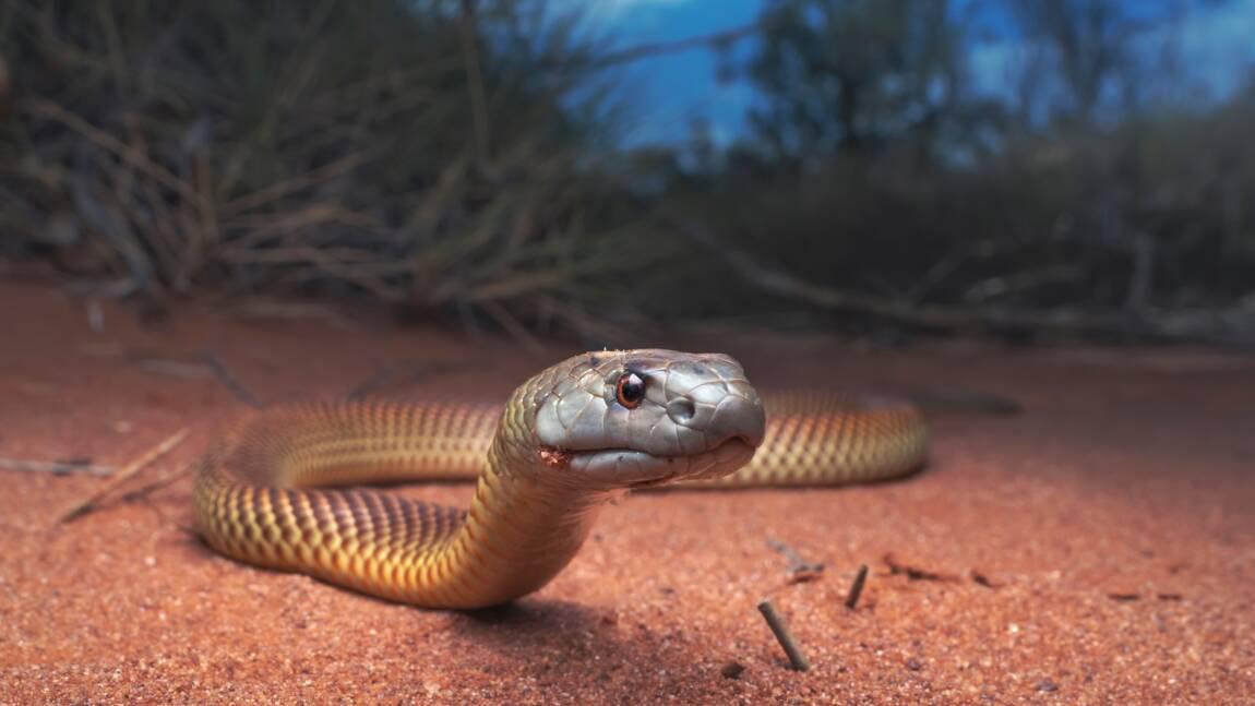 Australie : Critterpedia, l'appli qui vous dit si une araignée ou un serpent est dangereux