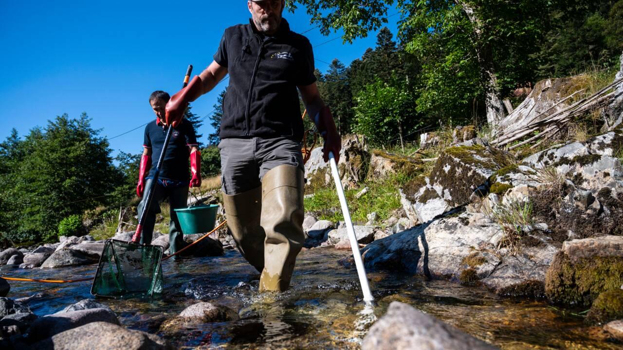 Alerte à la sécheresse dans les Vosges : le déménagement forcé de poissons en manque d'eau