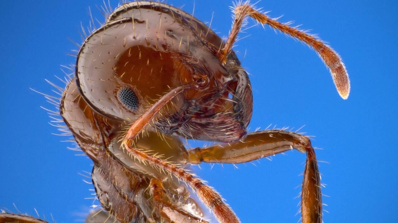 """Une """"fourmi infernale"""" piégée depuis 99 millions d'années avec sa proie dans de l'ambre"""