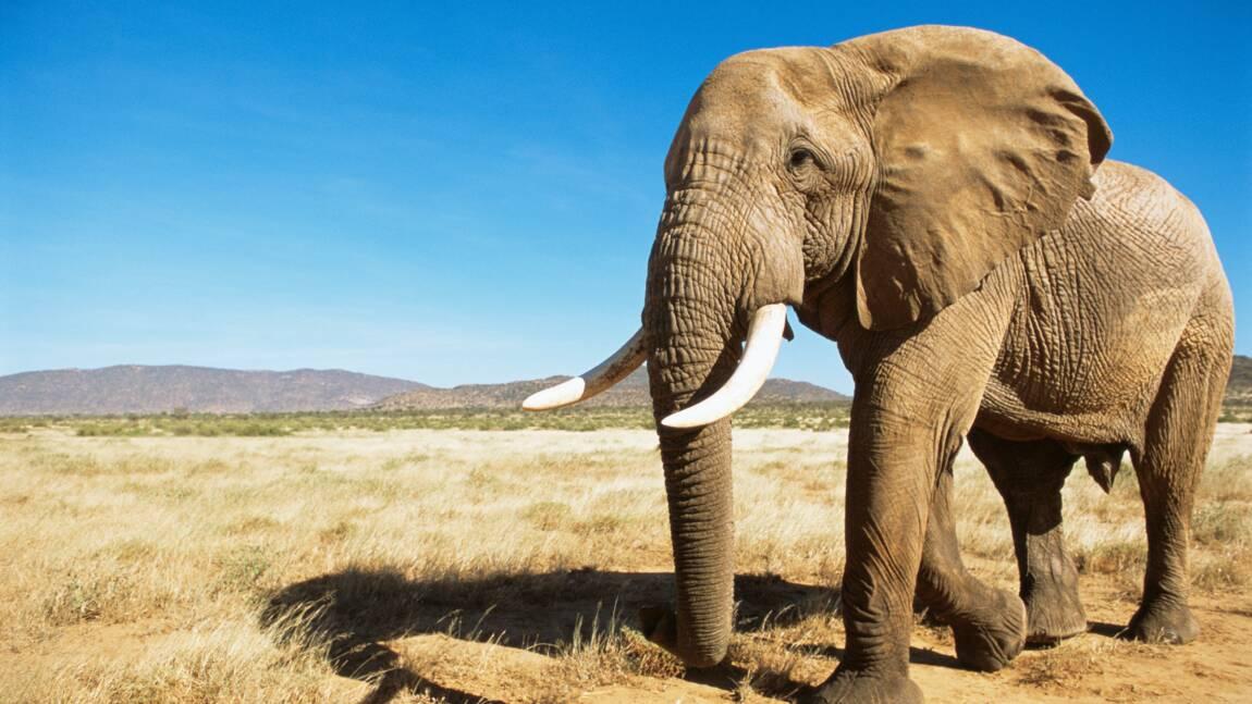 Singapour détruit un stock de 9 tonnes d'ivoire à la veille de la Journée mondiale de l'éléphant