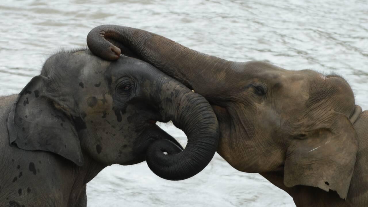 Le Sri Lanka va interdire l'importation de produits plastiques pour protéger les éléphants