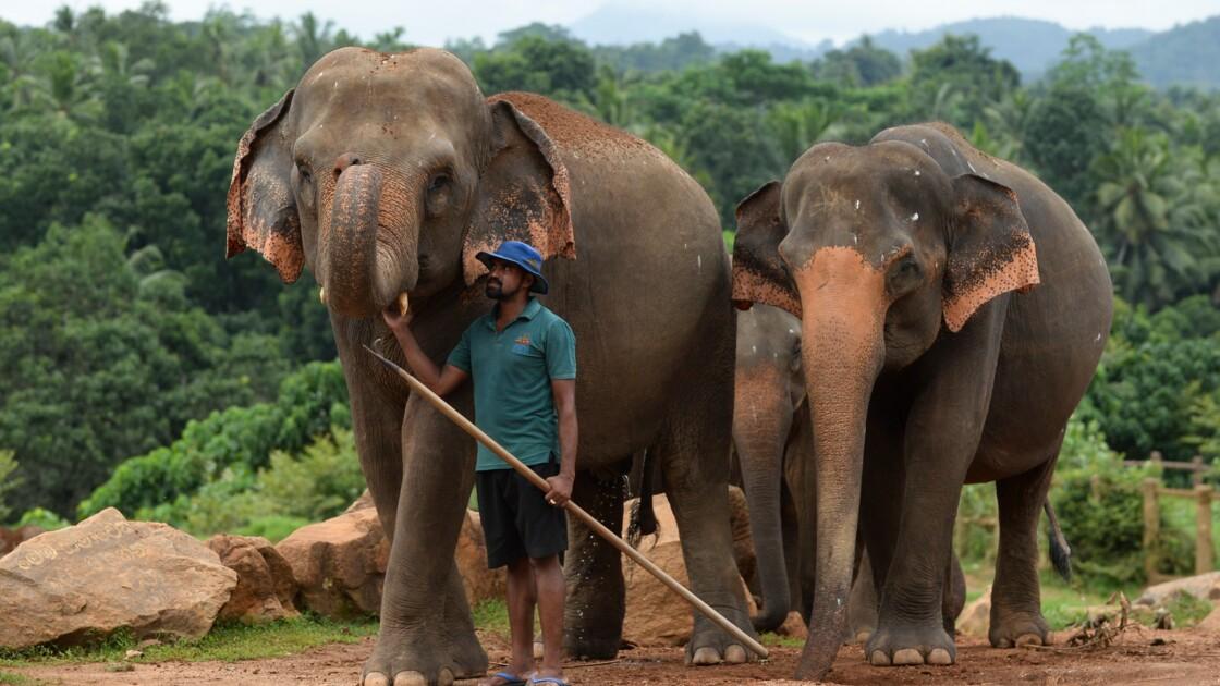 Au Sri Lanka, le confinement a offert un répit aux éléphants menacés