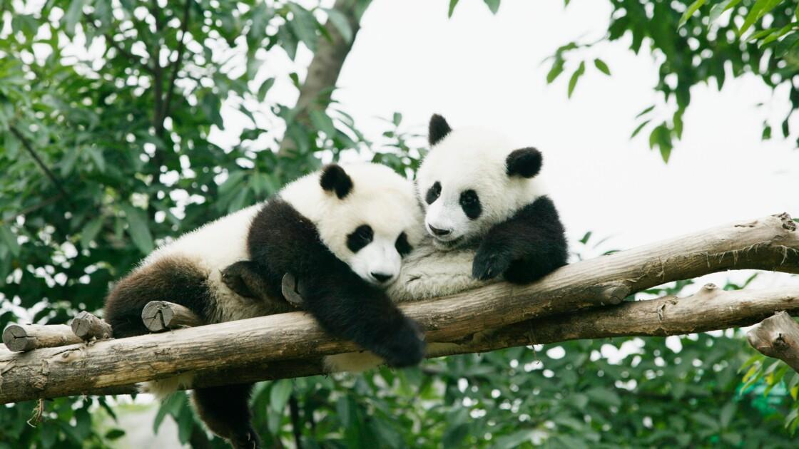 Au Canada, inquiétude pour deux pandas en raison d'une pénurie de bambou due au coronavirus