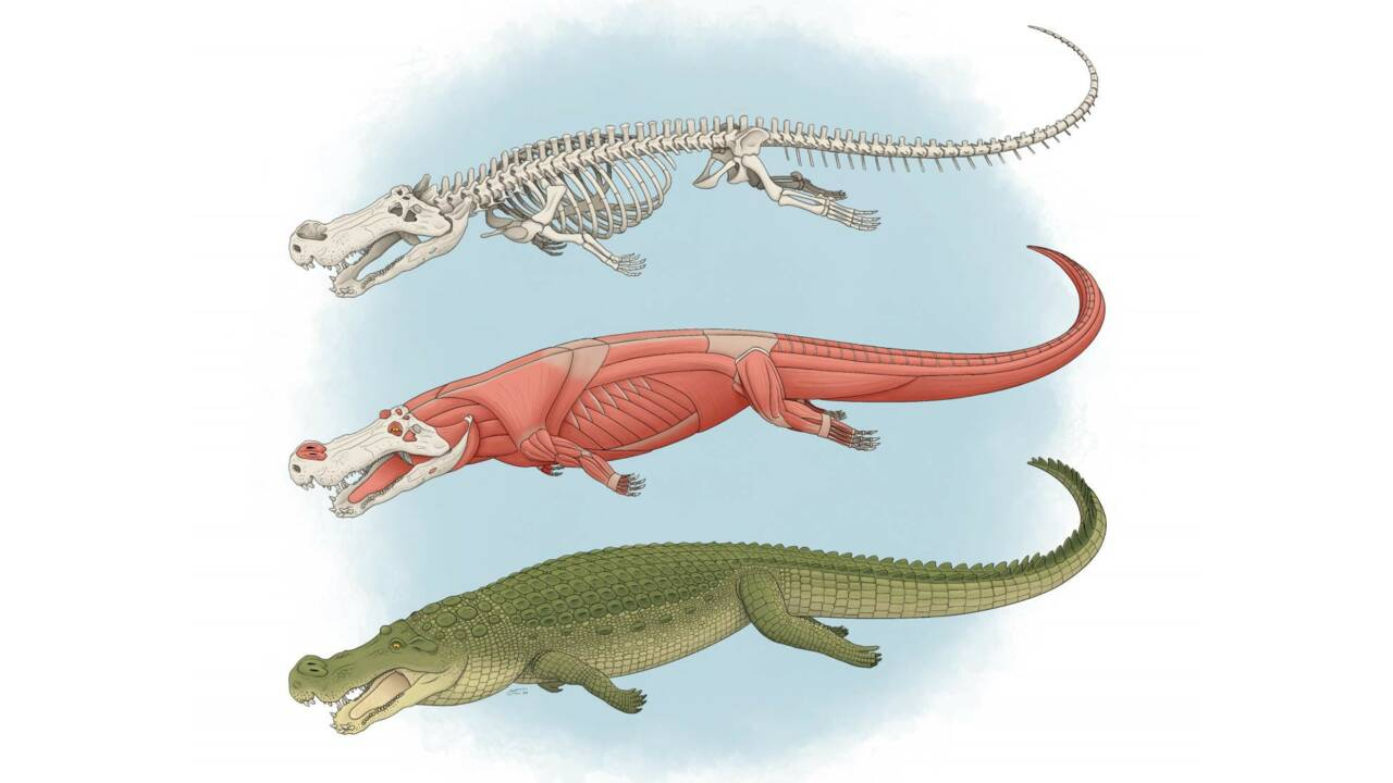 """Ce """"crocodile terrible"""" de 75 millions d'années avait des dents de la taille de... bananes"""