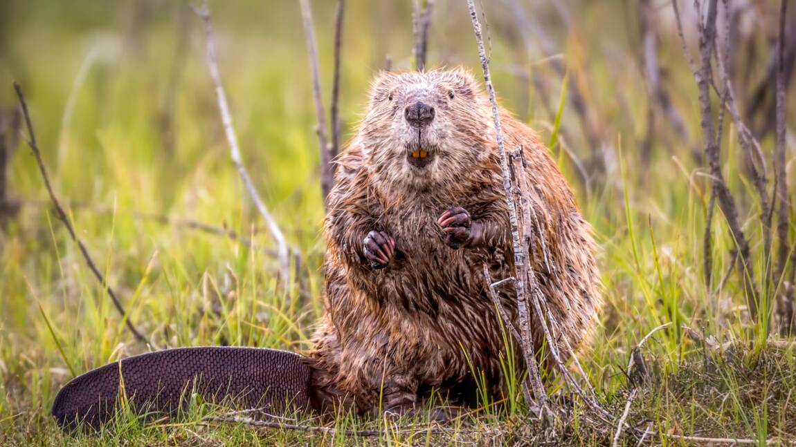Au Canada, le mystère des huttes de castors équipées d'une antenne parabolique enfin élucidé