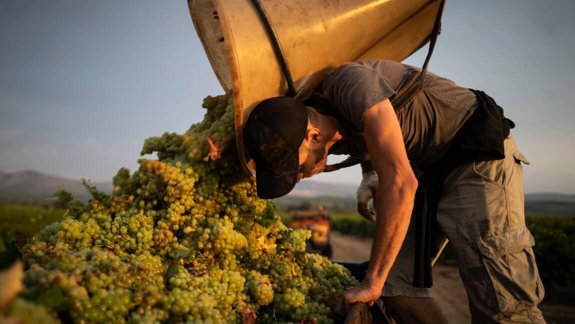 Réchauffement climatique: dans le Roussillon, des vendanges toujours plus précoces
