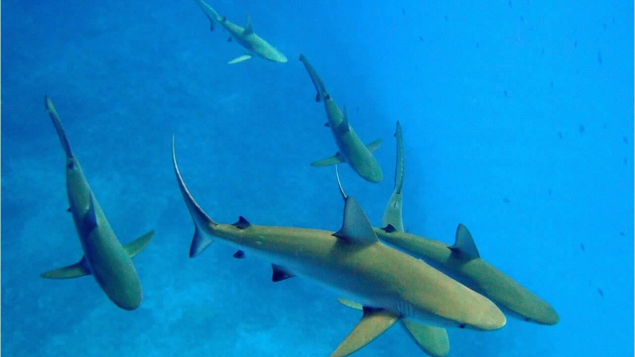 Les requins gris aussi ont une vie sociale plus complexe qu'on ne pensait