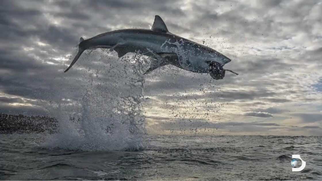 Record : un grand requin blanc s'envole à plus de 4 mètres hors de l'eau au large de l'Afrique du Sud