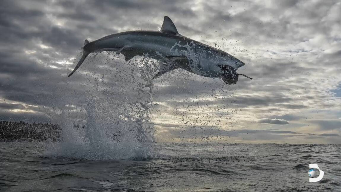Un requin blanc bat un record avec un saut exceptionnel