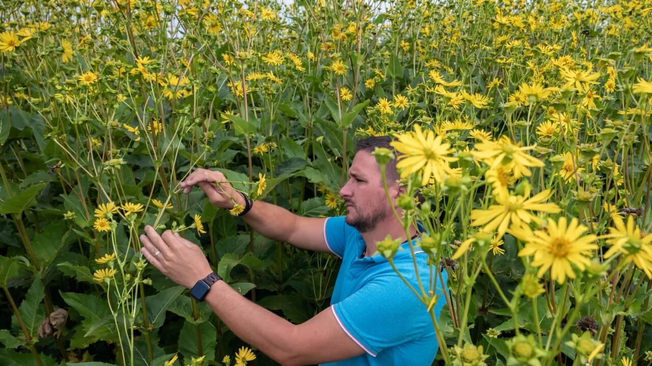 Le renouveau de la silphie, plante écologique et résistante à la sécheresse