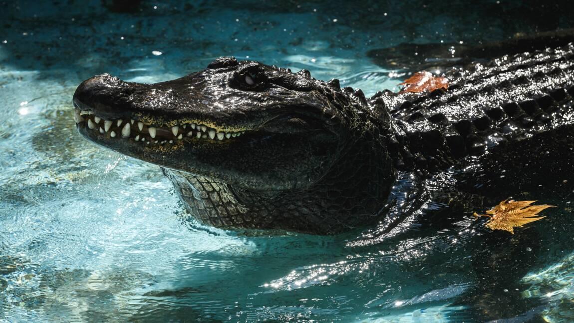 Le zoo de Belgrade marque ses 83 années avec Muja, le plus vieil alligator en captivité