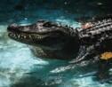 Arrivé au zoo de Belgrade il y a 83 ans, Muja est l'alligator le plus vieux du monde