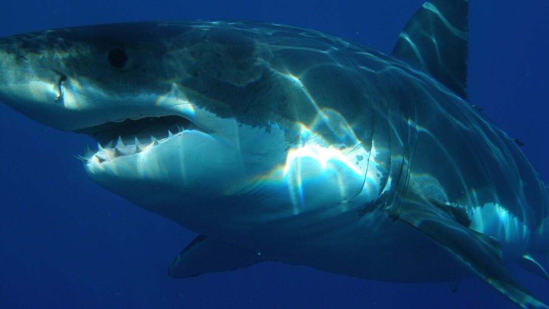Pour sauver sa femme, cet Australien frappe un requin blanc à coups de poing
