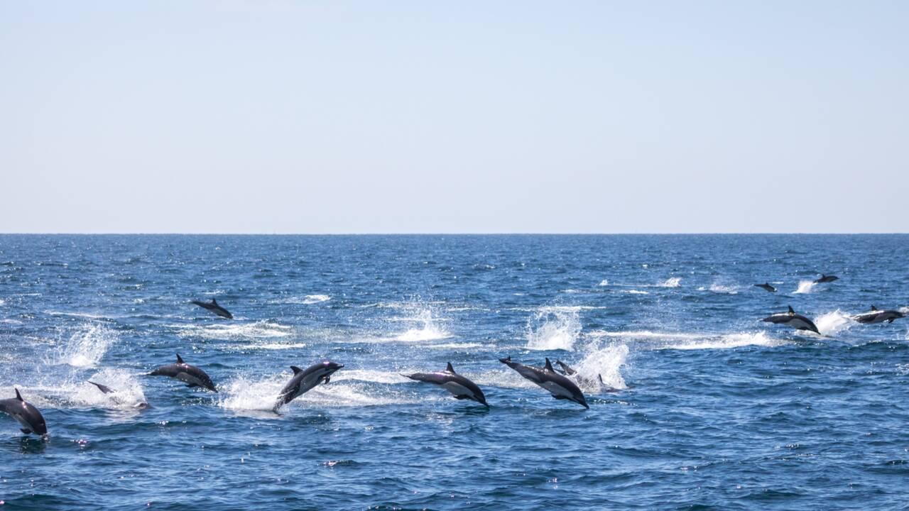 En images, le ballet magique de 300 dauphins nageant près d'un bateau au large de la Californie