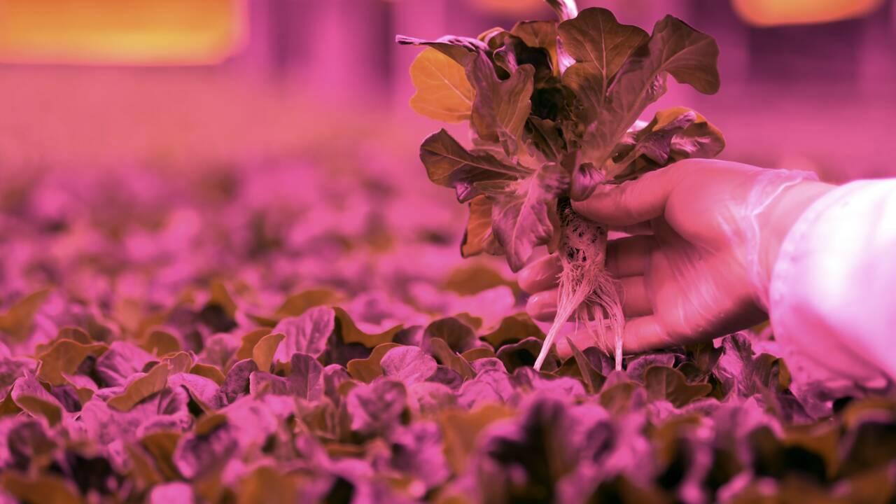 """A Dubai, une """"révolution agricole"""" au milieu du désert"""