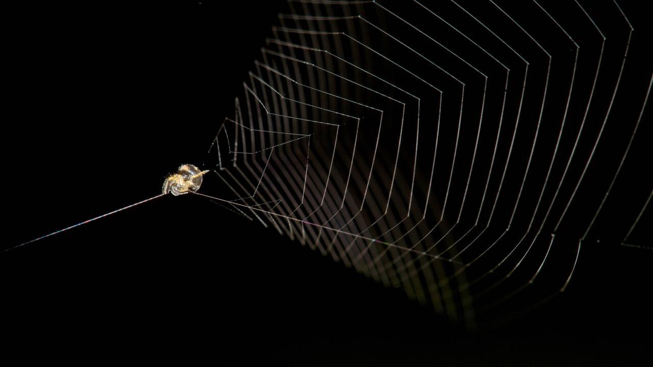 Lorsqu'elle attaque, cette araignée péruvienne se catapulte plus vite qu'un guépard