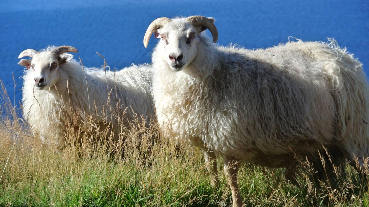 """Coronavirus : en Islande, les règles de distanciation sociale se traduisent """"en moutons"""""""