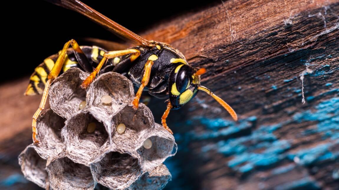 """Les guêpes, des insectes """"mal-aimés"""" pourtant bien utiles"""