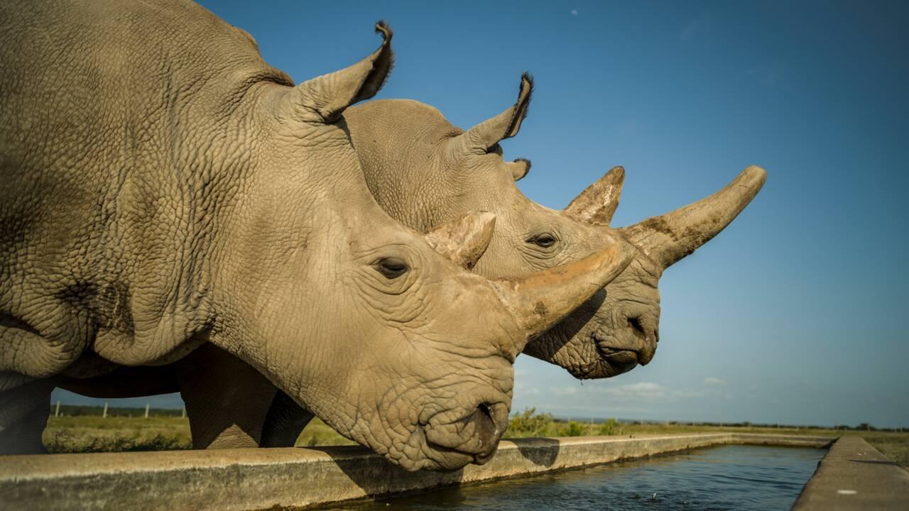 Kenya : nouvelle opération pour sauver le rhinocéros blanc du Nord de l'extinction