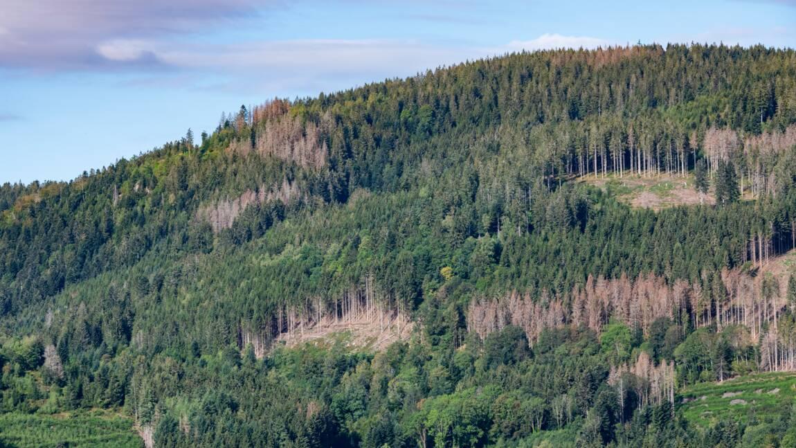 Dans les Vosges, sécheresses et autres calamités successives menacent la forêt