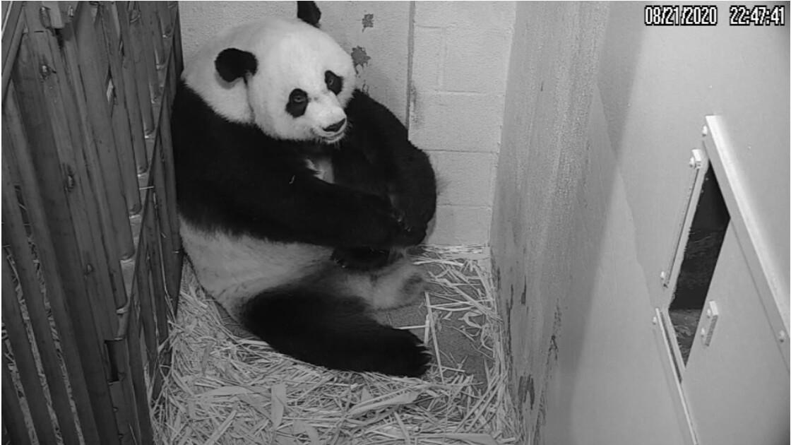 Naissance d'un bébé panda au zoo de Washington