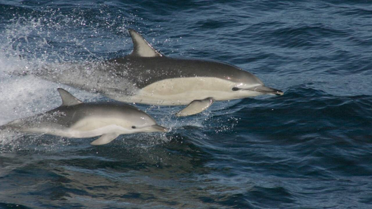 Les dauphins communs bientôt de retour dans la mer Adriatique ?