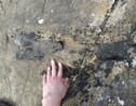 Un rare fossile de dinosaure de 166 millions d'années découvert par hasard sur une île écossaise