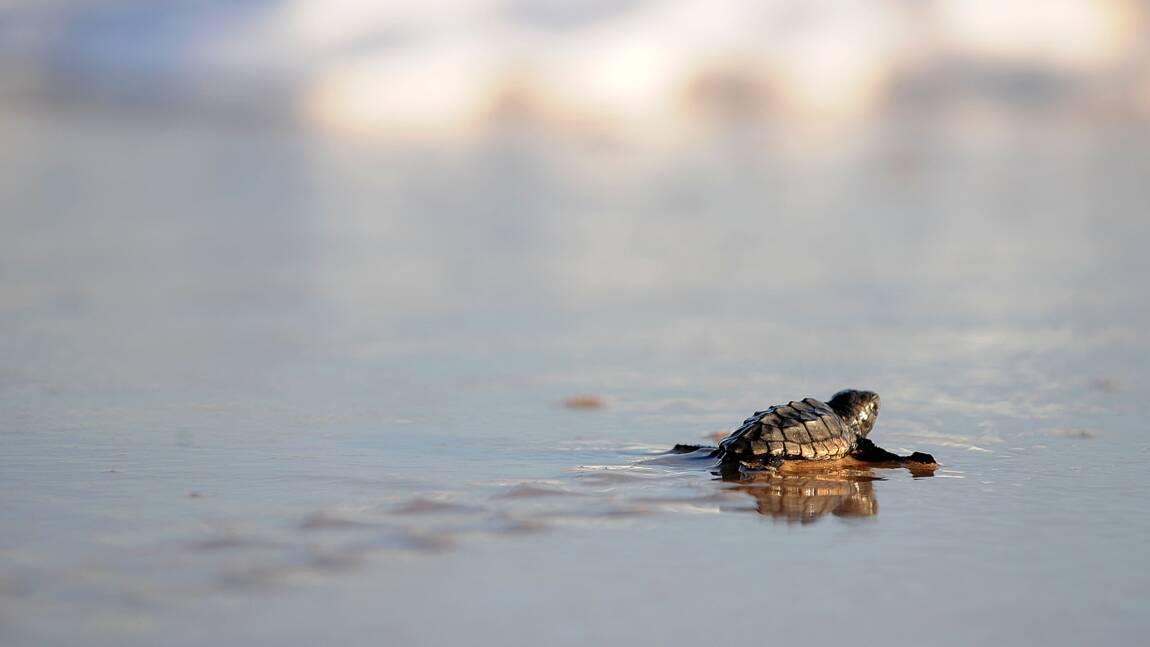 Plusieurs dizaines de bébés tortues ont éclos sur la plage de Fréjus