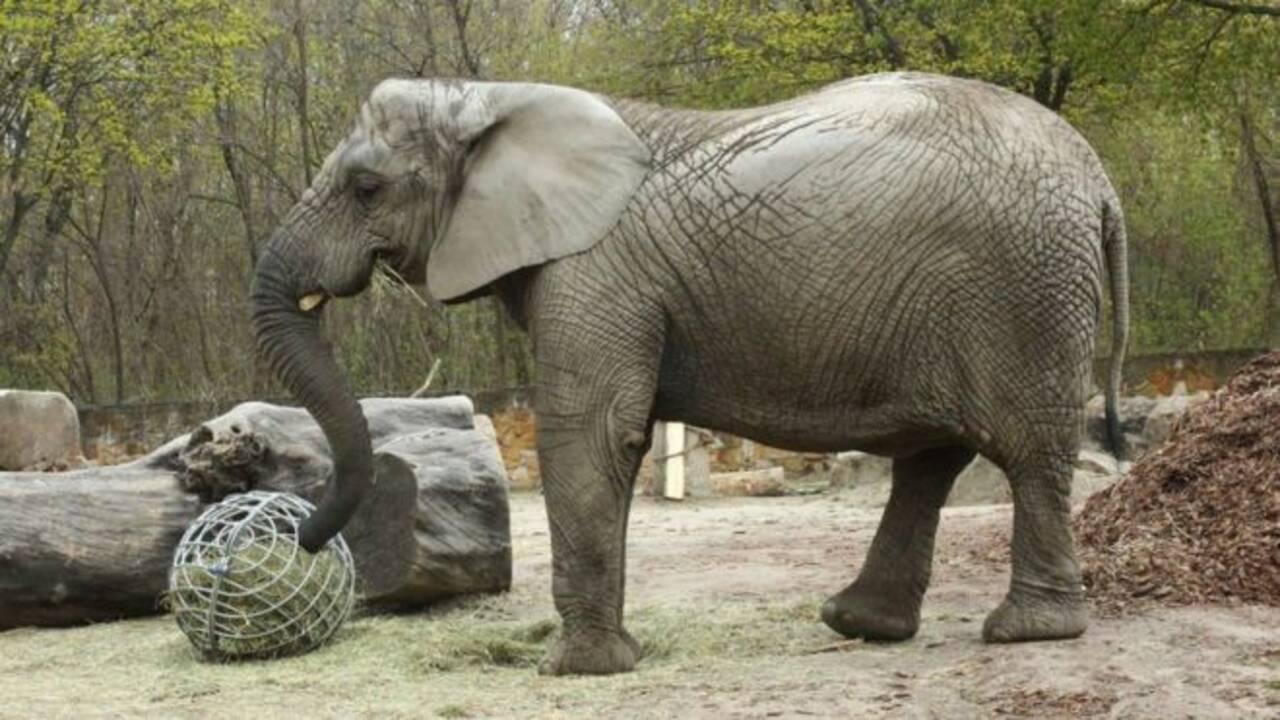Un éléphant du zoo de Varsovie va tester l'huile de cannabis pour soulager son stress