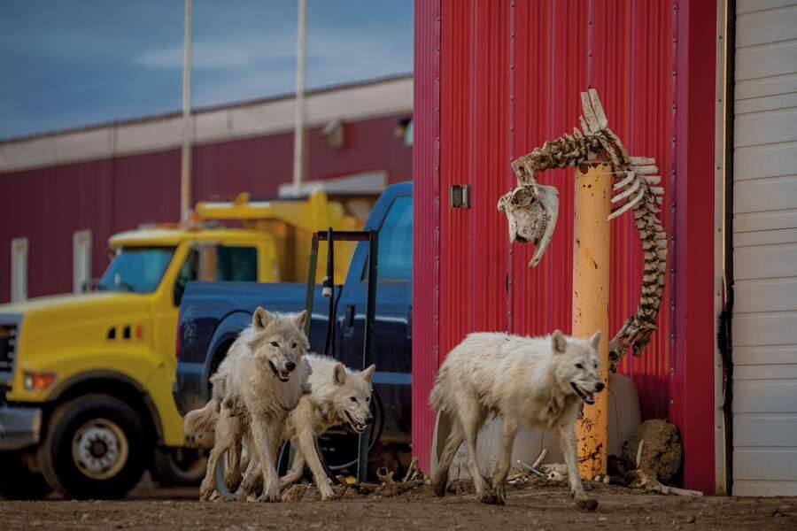 Avec les loups de l'Extrême-Arctique