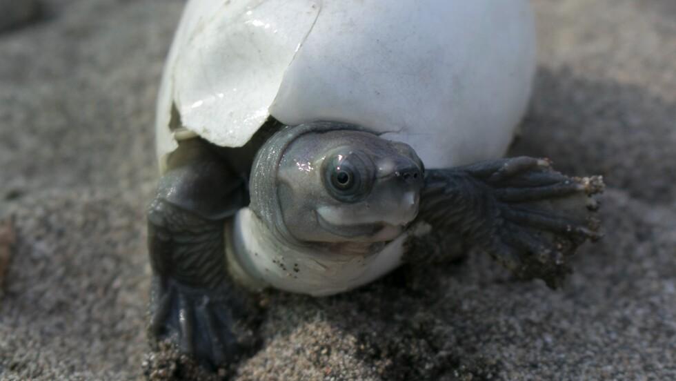 L'une des tortues les plus menacées au monde connaît un regain encourageant au Myanmar