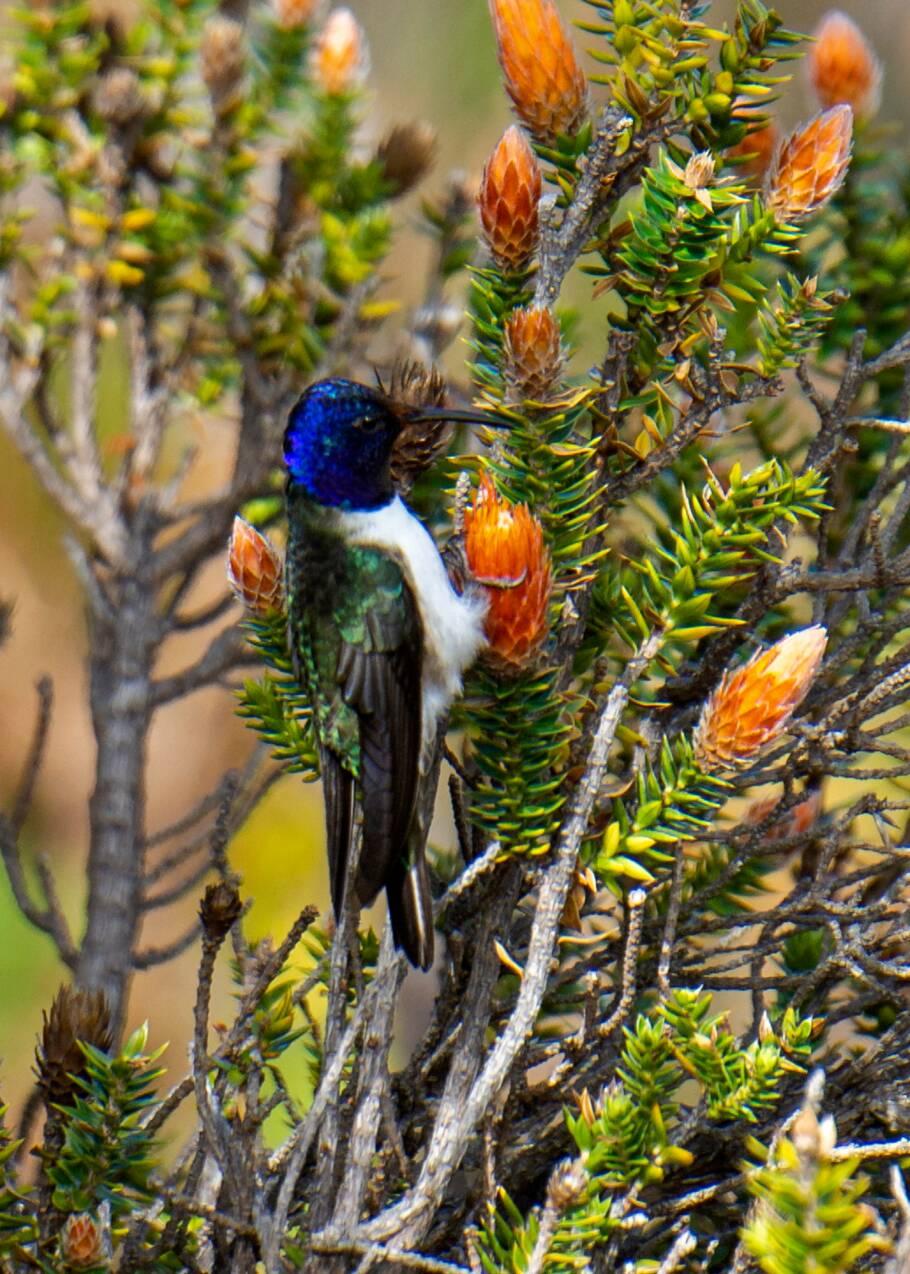 Equateur: un colibri émerveille la science avec son chant de contre-ténor