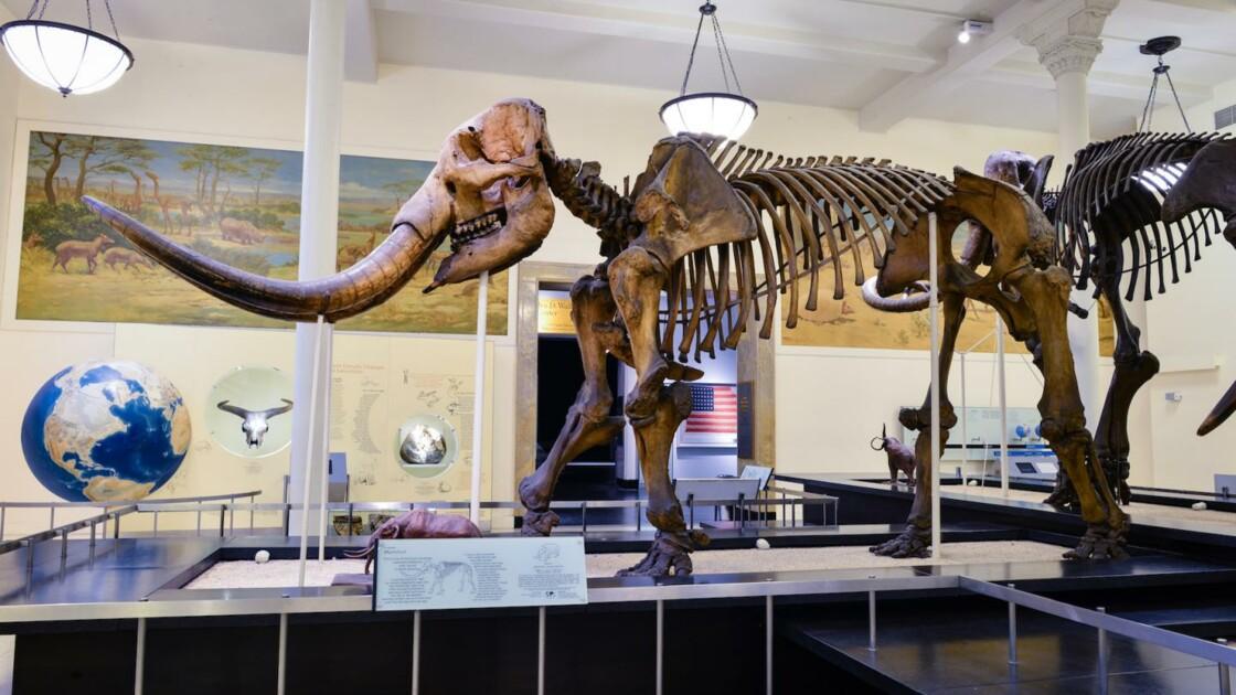 Leur ADN a parlé : les mastodontes étaient de (très) grands voyageurs