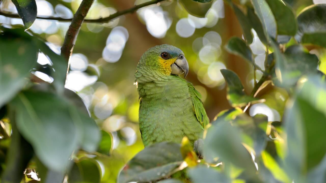 La situation de l'amazone à front bleu, perroquet le plus braconné du Brésil, inquiète