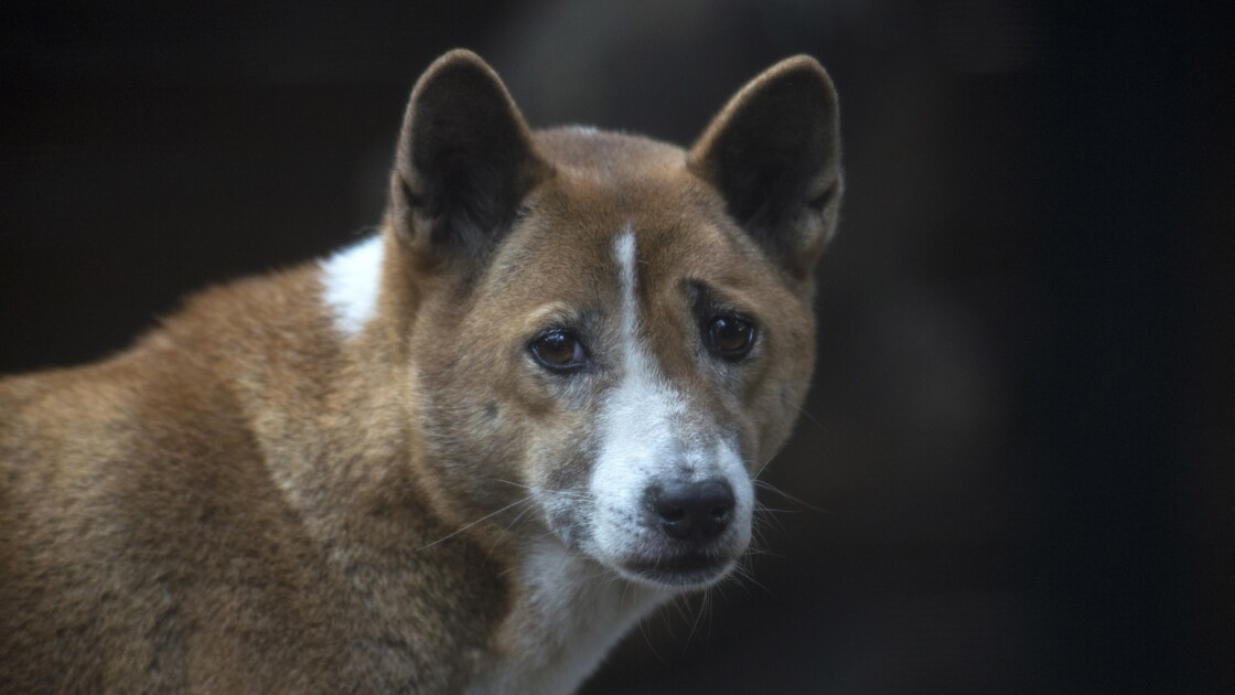 Des chiens chanteurs que l'on pensait éteints redécouverts en Nouvelle-Guinée