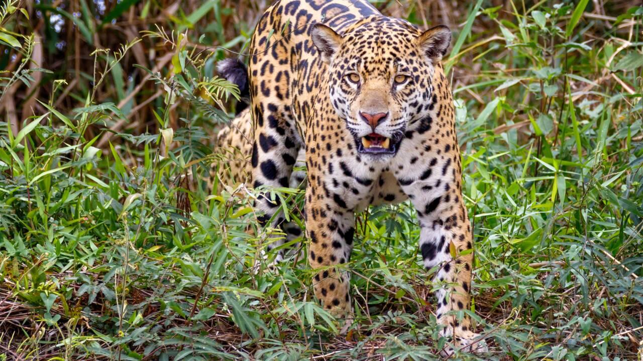 Le Pantanal, un paradis vert dans l'enfer des flammes