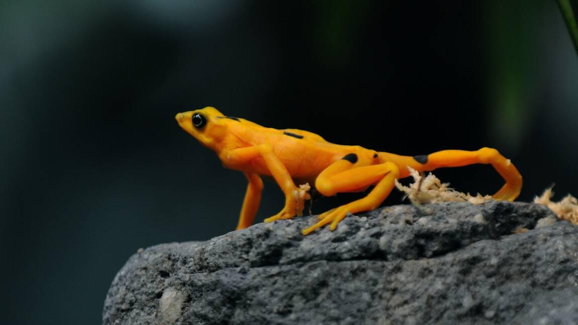 Ce champignon tueur menace d'exterminer les dernières grenouilles dorées du Panama
