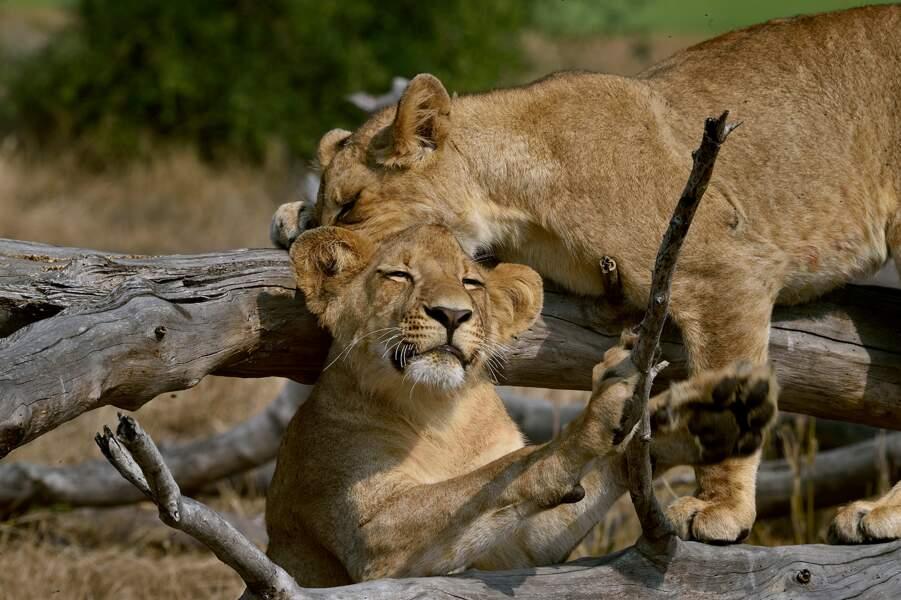 Lions heureux