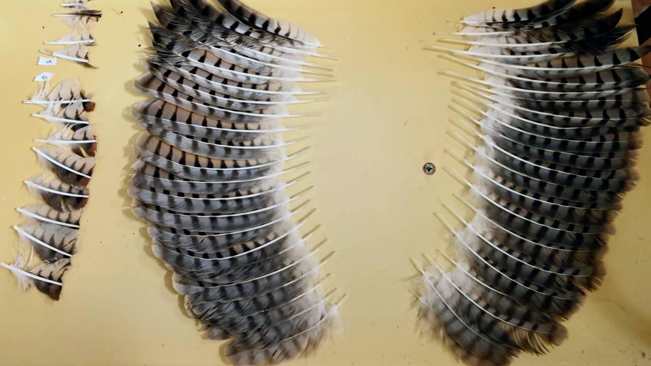 Au Salvador, une buse mutilée sauvée grâce à une greffe de plumes