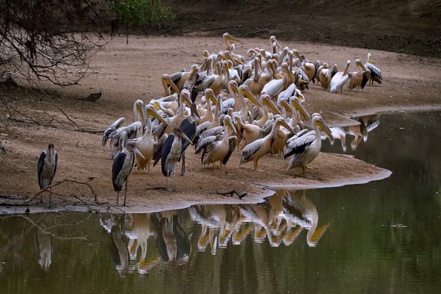 Les pélicans, très nombreux à Gorongosa