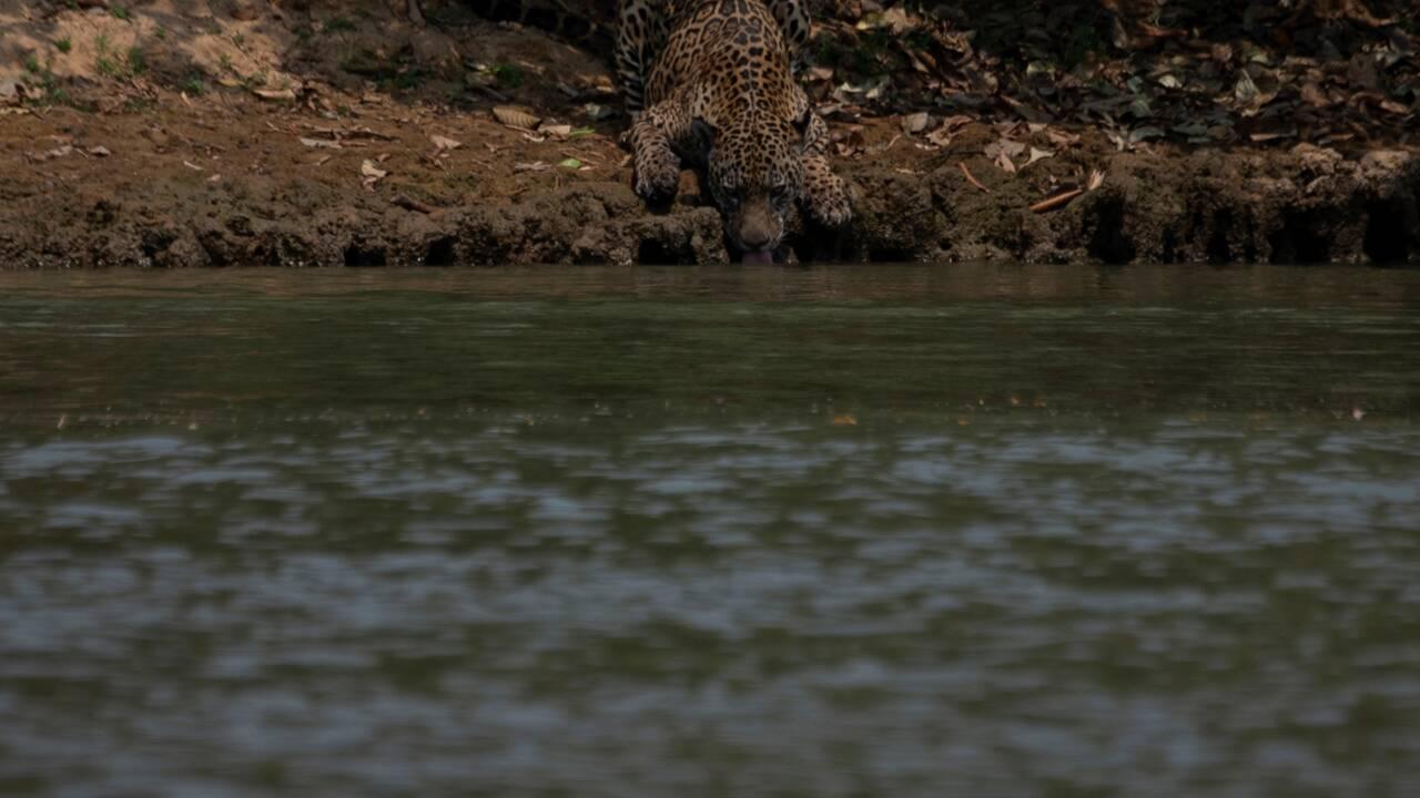 Brésil: des bénévoles au secours des animaux du Pantanal en feu