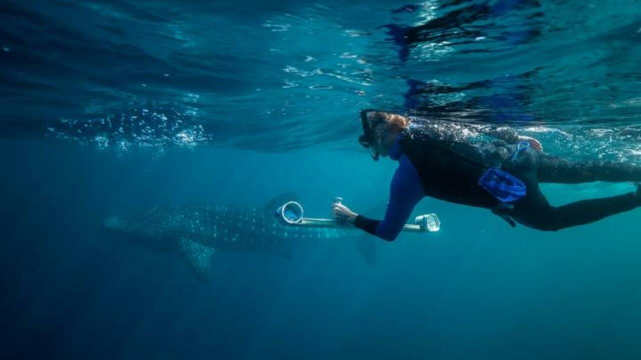 Et le record du plus grand poisson au monde revient à... la femelle requin-baleine